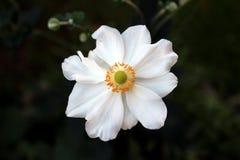 唯一日本银莲花属或包含白色花萼和黄色雄芯花蕊在黑暗的叶子的银莲花属hupehensis充分地开放开花的花 库存照片