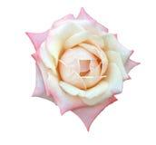唯一查出的玫瑰 免版税图库摄影