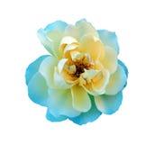 唯一查出的玫瑰 免版税库存图片