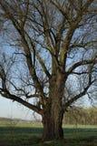 唯一树在更低的莱茵河地区的早期的春天 免版税图库摄影