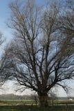 唯一树在更低的莱茵河地区的早期的春天 免版税库存图片