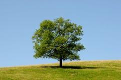 唯一树 图库摄影