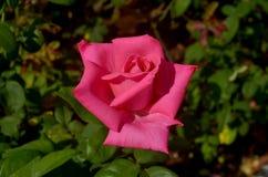 唯一桃红色玫瑰 免版税图库摄影