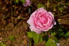 唯一桃红色玫瑰 免版税库存图片