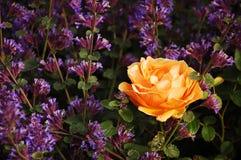 唯一桔子的玫瑰 库存图片