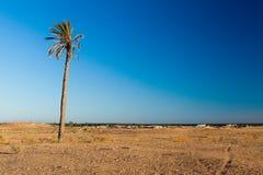 唯一棕榈在Douz突尼斯北非沙漠区域  图库摄影