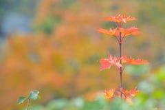 唯一槭树叶子 免版税图库摄影