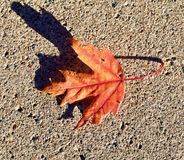 唯一橙色秋天枫叶 库存图片