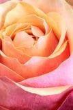 唯一橙色粉红色的玫瑰 免版税库存照片