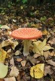 唯一橙色蘑菇,伞形毒蕈Muscaria。 库存照片