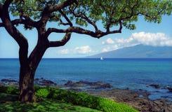唯一毛伊的结构树 免版税库存照片