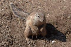 唯一海角地松鼠Xerus inauris 免版税库存照片