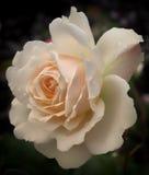 唯一淡粉红的玫瑰 免版税库存照片