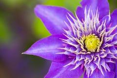 唯一特写镜头紫色铁线莲属花室外在庭院里 库存图片