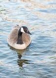 唯一狂放的加拿大鹅游泳特写镜头画象在镇静湖的日落的 图库摄影