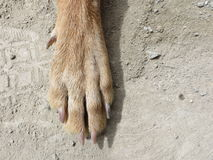 唯一狗爪子 免版税库存图片