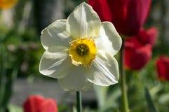唯一白色和黄色水仙poeticus 库存照片