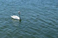 唯一白色天鹅在蓝色海水游泳 库存照片