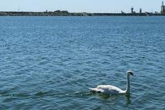 唯一白色天鹅在蓝色海水游泳 免版税图库摄影