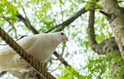 唯一白色鸽子(鸠)在准备好大树下的阴影的绳索跳跃和飞行在角落 库存照片