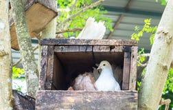 唯一白色鸽子(鸠)在角落的木箱巢与Copyspace 库存照片