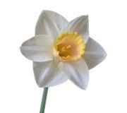 唯一白色黄水仙 库存照片