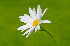 唯一的春黄菊 库存图片