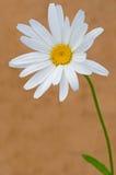 唯一的春黄菊 免版税图库摄影