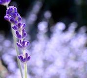 唯一的淡紫色 免版税库存照片