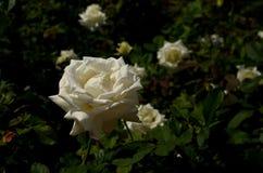 唯一的白玫瑰 库存照片
