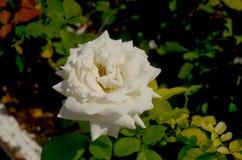 唯一的白玫瑰 免版税库存照片