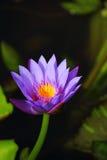 唯一的莲花 免版税库存照片