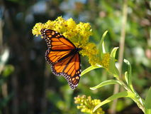 唯一的蝴蝶 免版税库存照片