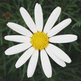 唯一的雏菊 免版税图库摄影