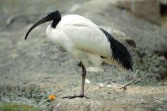 唯一神圣的朱鹭鸟在动物园里 免版税库存图片