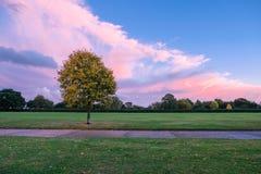 唯一秋天树在有美丽的桃红色天空的公园 免版税库存图片