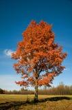 唯一秋天的槭树 免版税库存照片