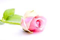 唯一粉红色玫瑰 库存图片