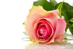 唯一粉红色的玫瑰 图库摄影