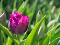 唯一紫红色的郁金香在阳光点燃的庭院里开了花 免版税库存照片