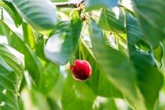 唯一红色樱桃 免版税库存图片
