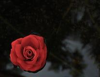 唯一红色玫瑰-黑背景 免版税库存照片