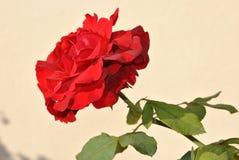 唯一红色玫瑰 免版税库存照片