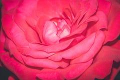 唯一红色的玫瑰 免版税库存照片