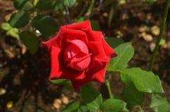 唯一红色的玫瑰 库存图片