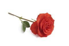 唯一红色的玫瑰 库存照片