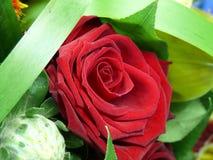 唯一红色的玫瑰 免版税库存图片