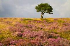 唯一结构树和在Quantocks的紫色石南花 免版税库存图片