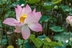 唯一美丽的莲花在一条自然回归线明亮地开花 免版税库存图片