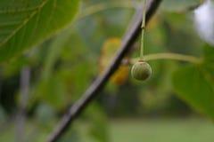 唯一美国鹅掌楸(美国的椴树属)种子Nutlet特写镜头  免版税库存图片